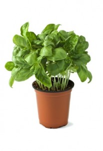 basil is one of the most profitable herbs to grow