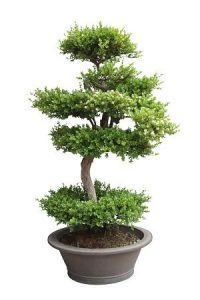 profitable bonsai elm tree