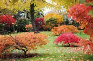 profitable japanese maple trees