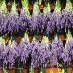 Lavender – The Sweet Smell of Success!