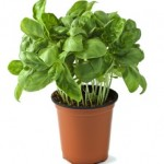 basil is a very profitable herb to grow